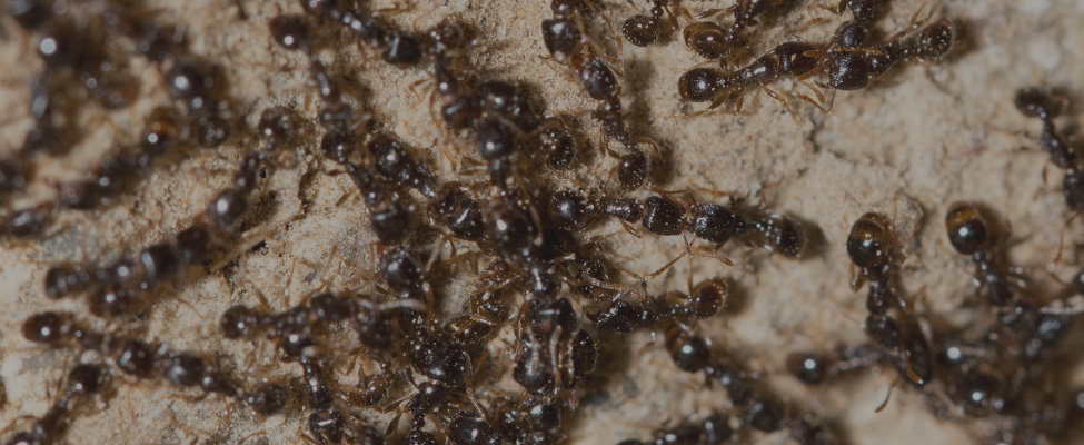 Hero Banner Image of Ant Control